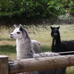 alpaca smallJPG
